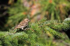 Pine Siskin (brian.bemmels) Tags: cleelum wa pine siskin pinesiskin carduelis pinus carduelisminus