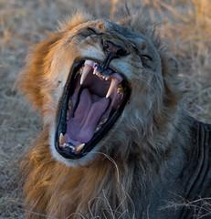 Not too Happy (Doreencpa) Tags: moremi okavangodelta malelion bigcat nikon nikkor200500mm d500 lion botswana teeth mad angry animal carnivore africa safari wild cat