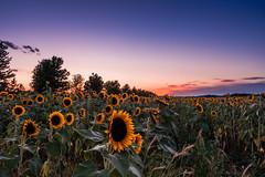 DSC02624 RAW (Mr Inky) Tags: longisland nofo northfork riverhead sonyrx100m3 sunflower