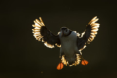 Puffin (Daniel Trim) Tags: atlantic puffin bird birding wildlife nature animal animals skomer pembrokeshire wales uk britain backlit flight flying rim lit