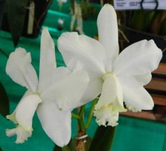 Cattleya loddigesii v. alba (Sylvio-Orqudeas) Tags: orqudeas orchids orchidaceae espcies species flores flowers cattleya loddigesii