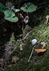 Schneckenhaus (holzer_r) Tags: schnecke erlaufschlucht snail wood wald bltter leaves waldboden purgstall austria sterreich niedersterreich loweraustria trkensturz schlucht schneckenhaus moos