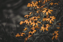 Appealing into the wilderness (Md Waheed Photography) Tags: field flowers forest nature tree beautiful leaf orange plant charming garden sunny colorful moments blossom botanical afternoon bloom wilderness black background discover enchanting bunch wilde australia sydney nikon d5100 closeup depthoffield dof bokeh wild attraction enchanted daisy flower