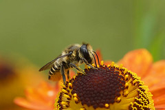 Tuinbladsnijder - Megachile centicularius op Helenium autumnale (henk.wallays) Tags: