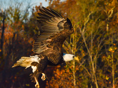 2015.10.31.8563 Eagle (Brunswick Forge) Tags: 2015 nature outdoors autumn aerial animals birds wildlife fall closeup early morning woods forest tree trees virginia day tamron150600mm grouped commented favorited eagle eagles