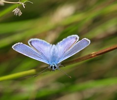 Time to spread your wings, little blue... (Kez West) Tags: commonblue wings butterfly hww wingwednesday insect blue summer nature polyommatusicarus wow