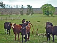 (SusyKeys) Tags: australianbeef beef centralvictoria glenlyon