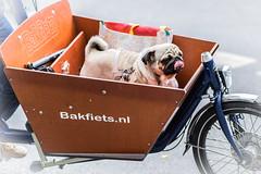Travellin Dog (*Capture the Moment*) Tags: 2016 bokeh dof dog fotowalk hund mops munich mnchen sonya7ii zeissbatis1885