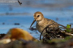 Returning Waders - Dunlin (Calidris alpina) (gcampbellphoto) Tags: calidrisalpina dunlin wader shorebird nature wildlife avian migration shore sea northantrim ballycastle gcampbellphoto