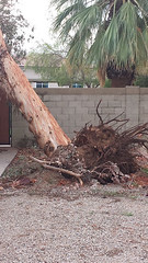 PV Trimmers 3110 E Northern Ave Phoenix AZ 85028 (602) 992-6212 (pvtrimmers) Tags: tree trimming phoenix removal service palm