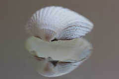 MM  -  Shell in the mirror (hjoachim1) Tags: marromondays inthemirror shell reflection macro makro