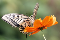 Swallowtail Butterfly(Papilio Machaon) (Johnnie Shene Photography(Thanks, 1Million+ Views)) Tags: papiliomachaon swallowtailbutterfly butterfly oldworldswallowtail papilionidae animal insect bug nature natural wild wildlife living organism perching resting awe wonder fulllength feeding highangle behaviour flora floral photography horizontal outdoor colourimage fragility closeup magnified adjustment tranquility tranquilscene interesting korea bright luminosity summer day lighteffect freshness nopeople foregroundfocus canon eos600d rebelt3i kissx5 tamron 90mm f28 11 macro lens