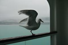 An Alaskan seagull with amazing eyesight. (Traveling with Simone) Tags: seagull alaska sea ocean pacific balcony misty rainy glacierbay