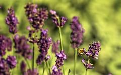 Lavender attracts bees (Renate Bomm) Tags: lavendel lavandula lippenblter schrfentiefe bokeh landschaft feld september renatebomm 366 2016 biene bee herbst lila green nature natur lavender flickrunitedaward