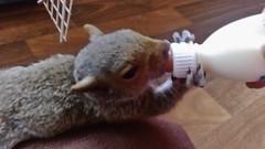 Wiggles having lunch (Kay Musk) Tags: greysquirrel animal baby sciuruscarolinensis mobile phone sony