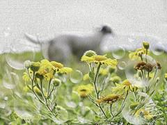 Fleabane with Dog-keh (Shastajak) Tags: commonfleabane pulicariadysenterica wildflower bokeh dogkeh sqlkeh bubbles photoshopcc sliderssunday hss