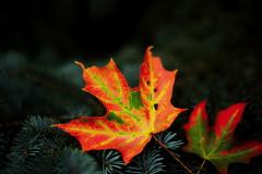 On the Edge (08 27 2016) (PhotoDocGVSU) Tags: fall autumn fall2016 leaves maple fallcolor canon5d3 50mmf14 westmichigan