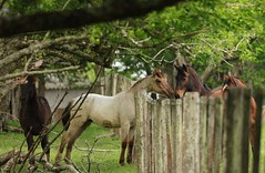 Horses (Rknebel) Tags: horse cavalocrioulo