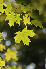 Green (historygradguy (jobhunting)) Tags: stillwater ny newyork upstate saratogabattlefieldnationalhistoricalpark leaf leaves green bokeh backlit