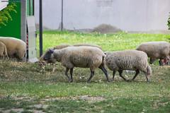 Sheep Transumance in Saint Denis (AlainG) Tags: saintdenis france 93 canon5d sheep moutons brebis berger animals city iledefrance