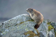 Alpine Marmot (fascinationwildlife) Tags: animal mammal austria wild wildlife nature natur national park grosglockner mountain range murmeltier marmot alps alpine hohe tauern morning summer