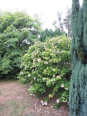 3550 Hibiscus syriacus shrub (Andy panomaniacanonymous) Tags: 20160819 commonhibiscus fff flower hhh hibiscussyriacus kent shrub sss
