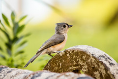 Tufted Titmouse (backyardzoo) Tags: bird titmouse