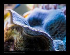 STETderasa7223_160616 (kactusficus) Tags: marine aquarium reef tank home coral tridacna derasa clam benitier