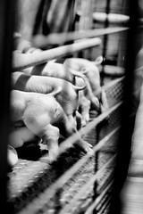 Piggy Butts (AlexRuz) Tags: pig piggy piglet bigpig marylandstatefair maryland fair farmer pigfarmer 4h