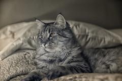 Leonardo (zenseas : )) Tags: leonardo cat pet boy male dear sweet seattle belltown washington pixiebob ir digitalinfrared infrared special feline