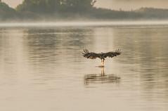 Juvenile Bald Eagle Fishing (Mike Matney Photography) Tags: 2016 baldeagle canon eos7d horseshoelake illinois midwest september bird birds juvenile lake nature water wildlife pontoonbeach unitedstates us