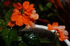 Villas do Atlntico - Lauro de Freitas/Ba (AmandaSaldanha) Tags: nature natureza flower plant planta colors cores flickr winter inverno flores jardim garden