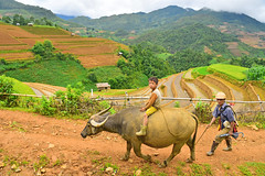 289717067 (Nht Bo Trung) Tags: agriculture asia asian barley carry country countryside cow crop cultivate development falls farm farmer farmland field giang golden grain grow ha hard harvest hat human land lombok natural nature outdoor peasant people plant poor poverty produce rice rural sapa stems straw traditional travel vietnam wheat woman work