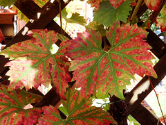 Weinlaub (onnola) Tags: berlin deutschland germany neuklln buckow wein weinlaub laub bltter herbst rot grn vine leaves foliage autumn red green