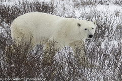 "Polar Bear in Churchill along the Hudson Bay. • <a style=""font-size:0.8em;"" href=""http://www.flickr.com/photos/92120860@N06/8454774742/"" target=""_blank"">View on Flickr</a>"