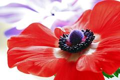 Anemone #2 (taniuniyana) Tags: flower macro canon anemone   6d ef100mm