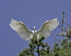 Elkhorn Slough (AndersHolvickThomas) Tags: california bird slough egret elkhorn thewonderfulworldofbirds