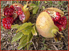 Study Of A Pomegranate! ('cosmicgirl1960' NEW CANON CAMERA) Tags: travel nature beauty spain costadelsol andalusia marbella yabbadabbadoo