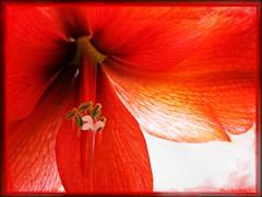 AMARILYS ROYAL RED  (=COMMENT) (Anne-Miek Bibbe) Tags: winter flower garden tuin bloesem bloem amarilys blossem royalred bibber bibbe annemiekbibbe hippeastrumamaryllis canonpowershota1200