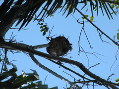 A nest on a branch (wallygrom) Tags: nationalpark costarica centralamerica manuelantonio quepos parquenacional img3165