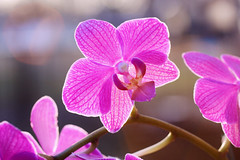 Pink Orchid (j man.) Tags: life lighting pink flowers friends light orchid flower color macro art nature floral colors beautiful closeup composition lens photography illinois cool flickr dof blossom bokeh pov background sony details favorites blurred 11 depthoffield pointofview sp ii views di if f2 tamron centered comments ld backlighting jman af60mm mygearandme flickrbronzetrophygroup a65v