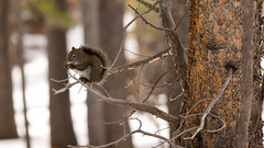 Lunch Time (matt.sellars) Tags: travel trees mountains tree nature woods squirrel squirrels colorado hiking eating wildlife nuts wilderness nutz 2013 estesepark