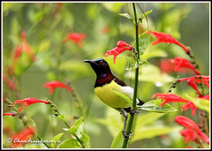 2844 - purple-rumped sunbird-  (chandrasekaran a 546k + views .Thanks to visits) Tags: india nature birds chennai sunbird tamron200500mm purplerumped canon60d blinkagain