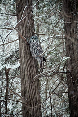 The Grey Owl (Thousand Word Images by Dustin Abbott) Tags: winter snow ontario canada cold tree bird pembroke grey cool woods bokeh bare large atmosphere naturallight owl handheld fullframe petawawa deepcolor hoyacircularpolarizer deepdepthoffield canoneos6d canonef70300mmf456lis thousandwordimages adobelightroom4 dustinabbott dustinabbottnet