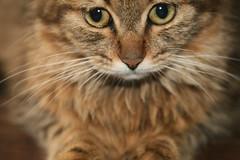 io sono Pluette (Alecampez) Tags: cats gatos gatti pluette
