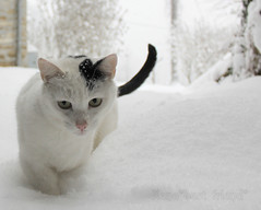 The Art of Walking in the Snow    (Xena*best friend*) Tags: wood winter wild italy pet cats pets snow cold cute animals fur frozen chats furry woods feline flickr tiger freezing kitty kittens whiskers piemonte gato neve calico purr meow neige paws miao rg gatto katzen pussycat markings miau feral wildanimals richardgere allrightsreserved alleycatallies piedmontitaly canonef70300mm catsinthesnow canoneos500d eosrebelt1i catsplayinginthesnow