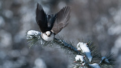 Gray Jay in Flight (Raymond J Barlow) Tags: bird art nature jay wildlife gray adventure avian algonquinpark birdinflight nikond300 raymondbarlowtours