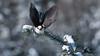 Gray Jay in Flight (Raymond J Barlow) Tags: bird art nature jay wildlife gray adventure avian algonquinpark birdinflight nikond300 raymondbarlowtours