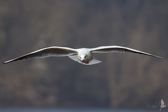 Gabbiano in volo [Explored] (_milo_) Tags: italy bird canon eos italia tamron oiseau gabbiano uccello birdwatcher 70300 sestocalende 60d chroicocephalusridibundus