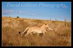 5 legs are better than 4 (Pikebubbles) Tags: africa southafrica wildlife preservation wildanimals shamwari davidgilliver davidgilliverphotography